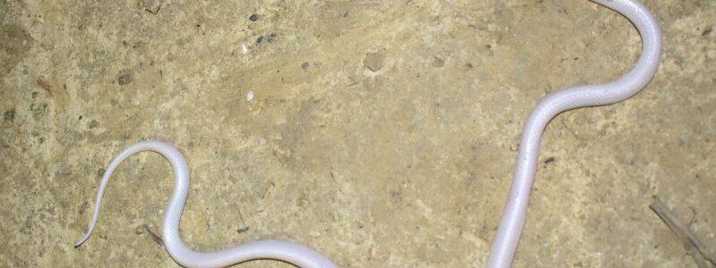 У Непалі знайдені дві білі змії, перші свого виду у світі